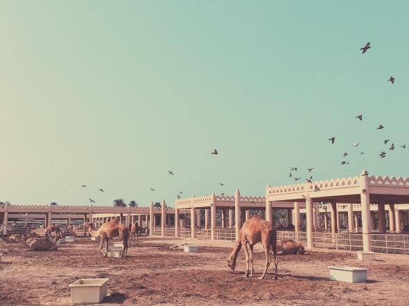 The King's Camel Farm